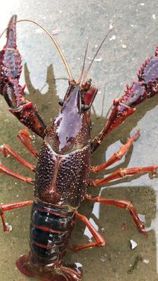这是一张关于红虾的产品图片