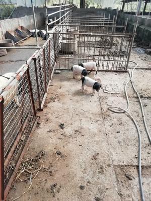 浙江省绍兴市诸暨市金华猪 120斤以上