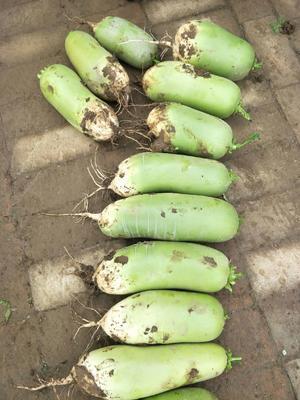 陕西省西安市户县玉美人萝卜 2~2.5斤