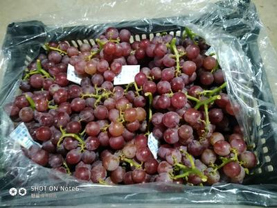 河北省石家庄市晋州市巨峰葡萄 5%以下 1次果 0.8-1斤