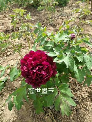 山东省菏泽市牡丹区冠世墨玉 18~20cm 20cm以上 0.5米以下