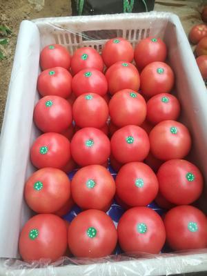 河北省沧州市献县硬粉番茄 不打冷 硬粉 通货