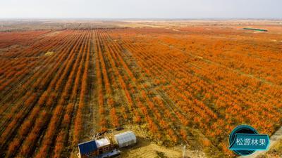 新疆维吾尔自治区阿勒泰地区布尔津县沙棘果 桔红色