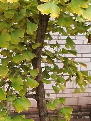 四川省成都市简阳市银杏实生树