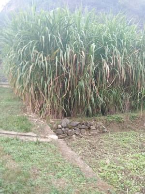 这是一张关于粮竹草的产品图片