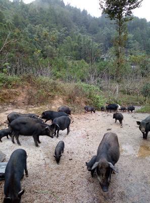 广西壮族自治区河池市东兰县黑山猪 60斤以上 统货