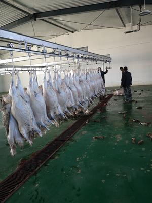 这是一张关于哈萨克大尾羊 30-50斤的产品图片