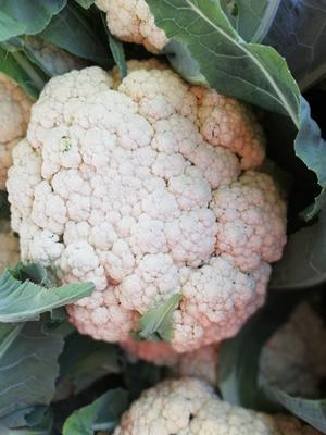 这是一张关于有机花菜 适中 2~3斤 乳白色的产品图片