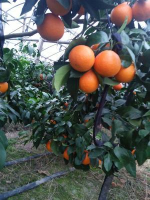 这是一张关于红美人柑桔 5.5 - 6cm 3两以上的产品图片