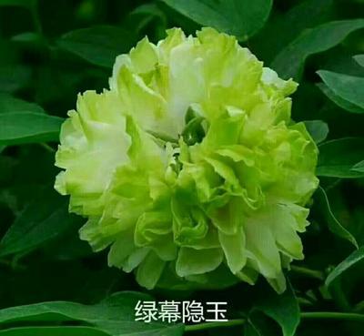 山东省菏泽市牡丹区绿玉牡丹 2cm以下 4cm以下 0.5米以下