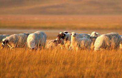 内蒙古自治区锡林郭勒盟苏尼特右旗内蒙古绵羊 30-50斤