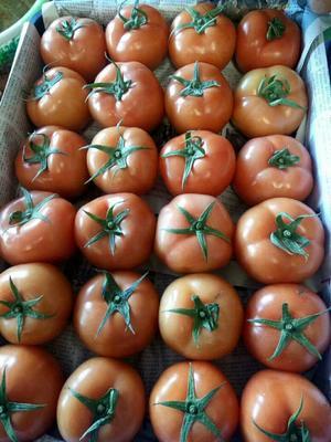 云南省楚雄彝族自治州元谋县大红西红柿 不打冷 大红 弧二以上