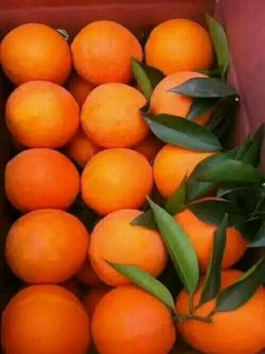 雷波脐橙 55mm以下 4两以下