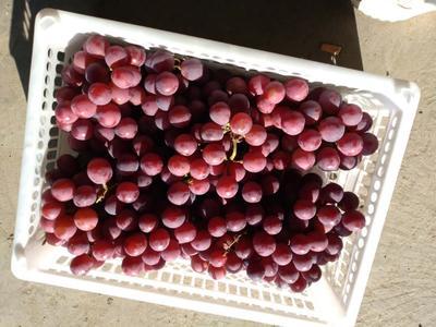 新疆维吾尔自治区乌鲁木齐市乌鲁木齐县红提 5%以下 1次果 2斤以上