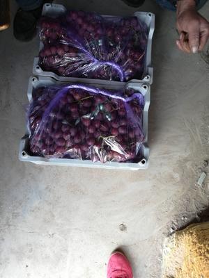 辽宁省大连市瓦房店市红提 5%以下 1次果 2斤以上