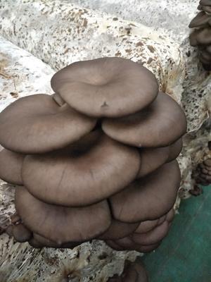 这是一张关于黑平菇的产品图片