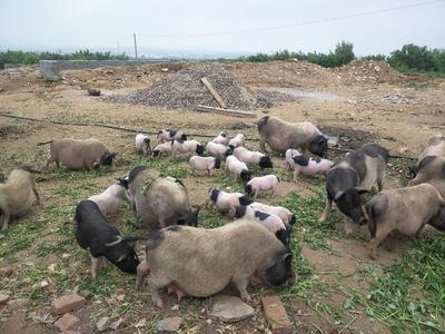 内蒙古自治区兴安盟扎赉特旗巴玛香猪 20-25斤