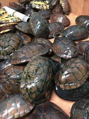 这是一张关于龟甲的产品图片