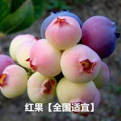 这是一张关于蓝宝石蓝莓苗的产品图片