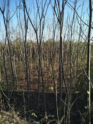 这是一张关于栾树的产品图片