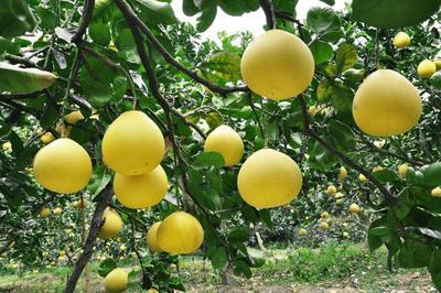 这是一张关于四季柚 2.5斤以上的产品图片