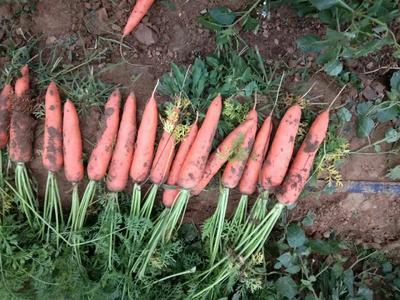山东省菏泽市牡丹区三红七寸参胡萝卜 15cm以上 2两以上 5cm以上