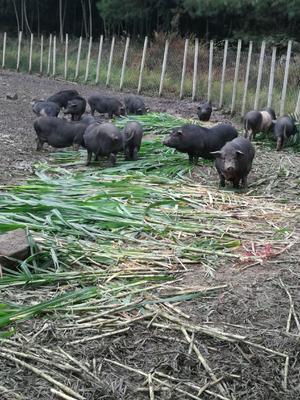 广西壮族自治区桂林市资源县黑猪 140斤以上