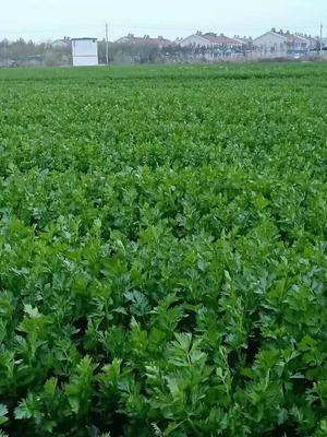 山东省德州市禹城市法国皇后芹菜 60cm以上 露天种植 2.5~3.0斤