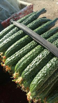北京朝阳区密刺黄瓜 18~22cm 鲜花带刺