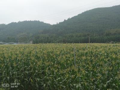 江西省赣州市全南县金百甜玉米 黄粒 鲜货