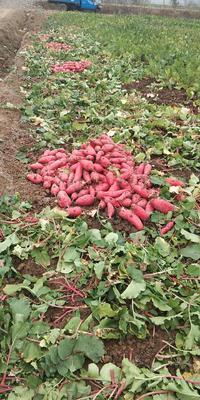 安徽省宿州市大红袍萝卜 1~1.5斤