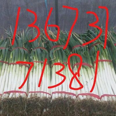这是一张关于日本大葱 2cm左右 30~40cm 毛葱的产品图片