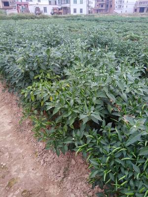 这是一张关于朝天椒 10~15cm 红色 中辣的产品图片