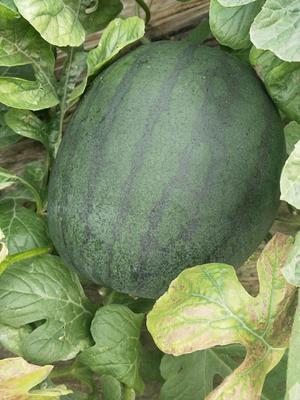 山东省潍坊市青州市黑皮无籽西瓜 无籽 1茬 9成熟 10斤打底
