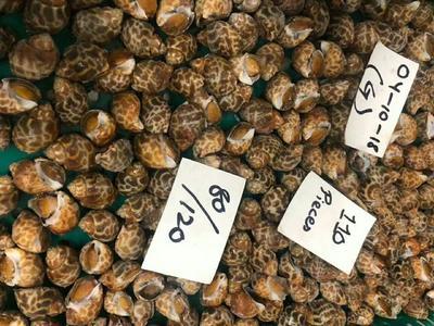 这是一张关于花螺 野生 30-50只/公斤的产品图片