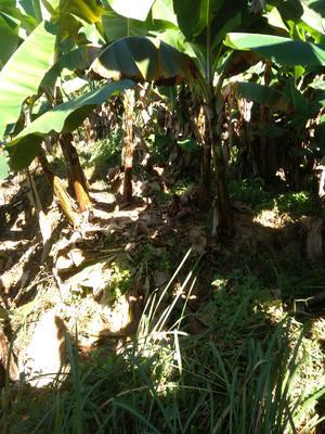云南省西双版纳傣族自治州勐海县威廉斯香蕉 七成熟