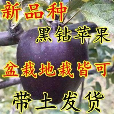 山东省临沂市平邑县红色之爱苹果苗 1~1.5米