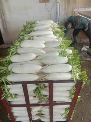 这是一张关于白萝卜 1.5~2斤的产品图片