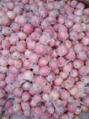 陕西省咸阳市乾县红富士苹果 纸+膜袋 条红 70mm以上