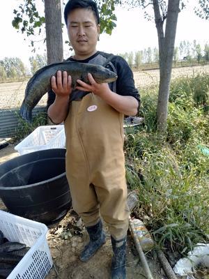 山东省菏泽市牡丹区野生黑鱼 人工养殖 1.5-2.5公斤