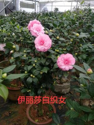 福建省龙岩市漳平市茶花树 140cm以上