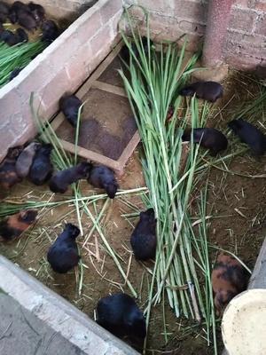 广西壮族自治区来宾市武宣县生态黑豚鼠