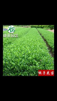 这是一张关于栀子花种子的产品图片