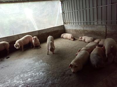 广东省清远市连山壮族瑶族自治县长白猪 200-300斤