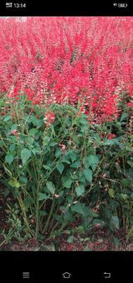 这是一张关于一串红种子的产品图片