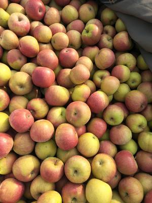 辽宁省大连市普兰店市国光苹果 光果 条红 65mm以上