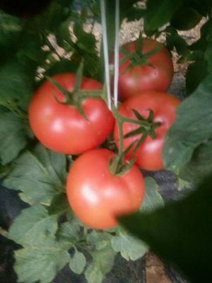 山东省德州市平原县硬粉番茄 不打冷 硬粉 弧三以上