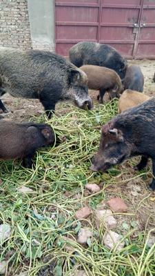 河南省郑州市中牟县生态野猪 40-60斤 统货