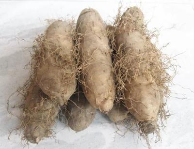 广东省茂名市化州市粉糯毛薯 2-5两