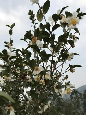 贵州省黔东南苗族侗族自治州黎平县野生山茶油